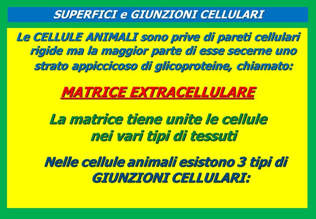 Le CELLULE ANIMALI sono prive di pareti cellulari rigide ma la maggior parte di esse secerne uno strato appiccicoso di glicoproteine, chiamato: MATRIC