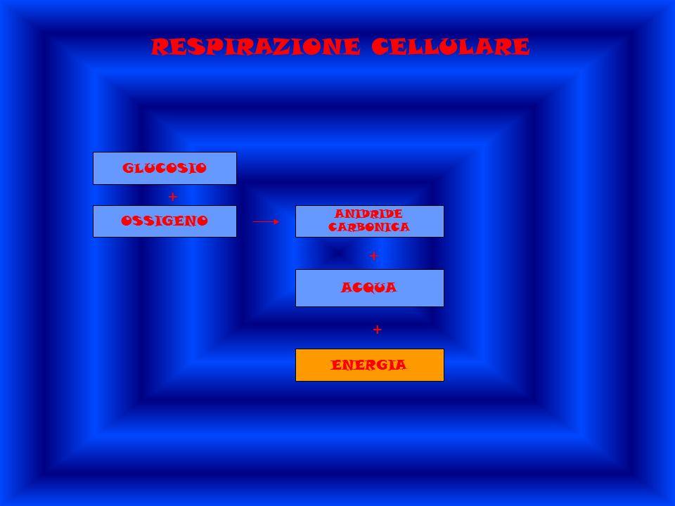 RESPIRAZIONE CELLULARE GLUCOSIO + OSSIGENO ANIDRIDE CARBONICA + ACQUA + ENERGIA