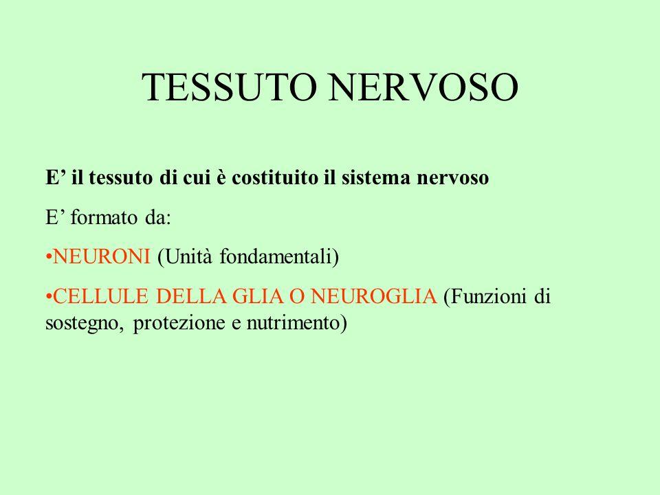 TESSUTO NERVOSO E il tessuto di cui è costituito il sistema nervoso E formato da: NEURONI (Unità fondamentali) CELLULE DELLA GLIA O NEUROGLIA (Funzion