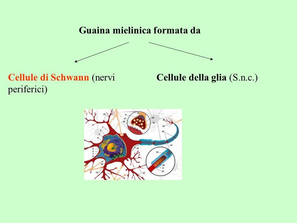 Guaina mielinica formata da Cellule di Schwann (nervi periferici) Cellule della glia (S.n.c.)