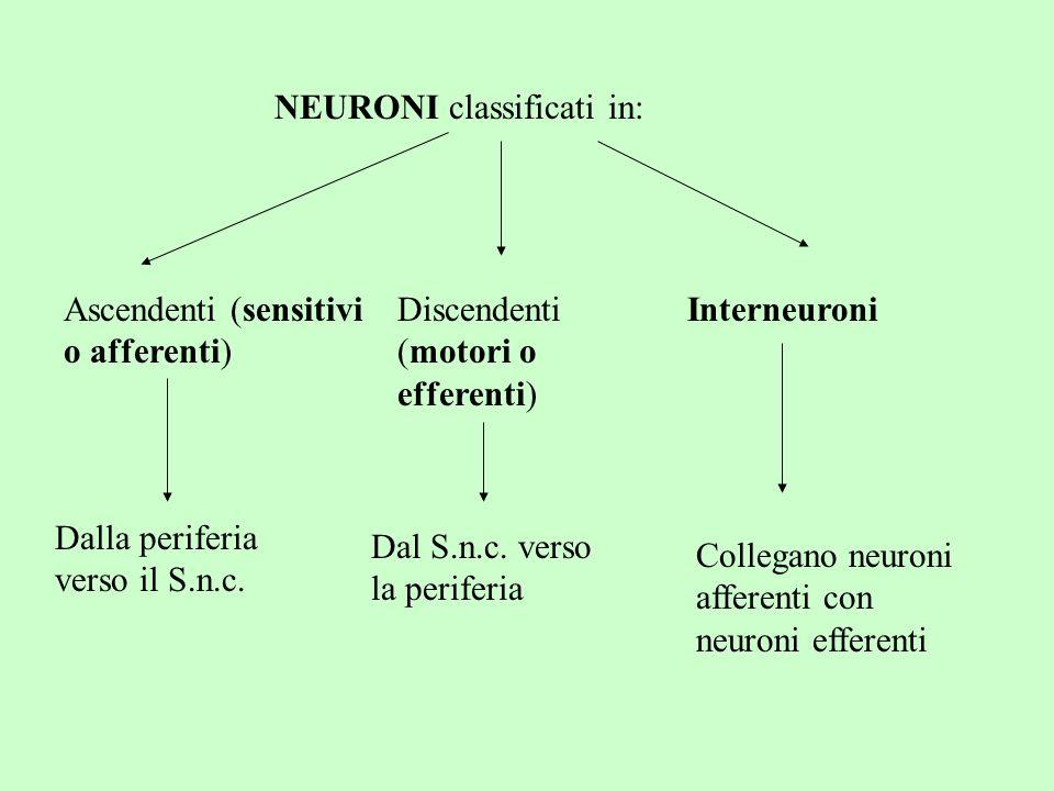 NEURONI classificati in: Ascendenti (sensitivi o afferenti) Discendenti (motori o efferenti) Interneuroni Dalla periferia verso il S.n.c. Dal S.n.c. v