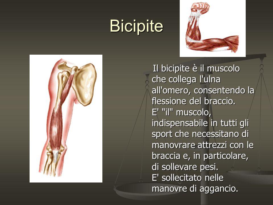 Bicipite Il bicipite è il muscolo che collega l'ulna all'omero, consentendo la flessione del braccio. E'