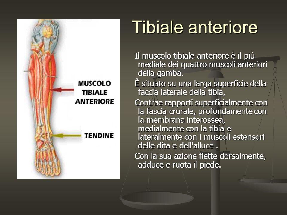 Tibiale anteriore Tibiale anteriore Il muscolo tibiale anteriore è il più mediale dei quattro muscoli anteriori della gamba. Il muscolo tibiale anteri