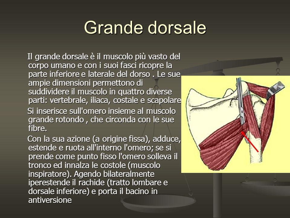 Grande dorsale Il grande dorsale è il muscolo più vasto del corpo umano e con i suoi fasci ricopre la parte inferiore e laterale del dorso. Le sue amp