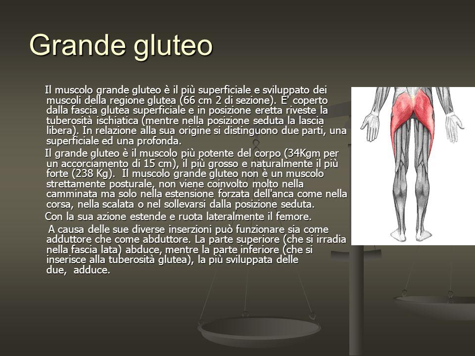 Grande gluteo Il muscolo grande gluteo è il più superficiale e sviluppato dei muscoli della regione glutea (66 cm 2 di sezione). E' coperto dalla fasc