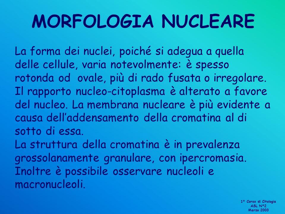 MORFOLOGIA NUCLEARE La forma dei nuclei, poiché si adegua a quella delle cellule, varia notevolmente: è spesso rotonda od ovale, più di rado fusata o