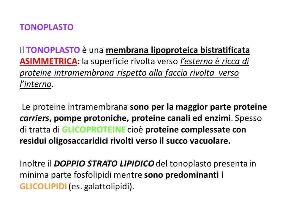 TONOPLASTO Il TONOPLASTO è una membrana lipoproteica bistratificata ASIMMETRICA: la superficie rivolta verso lesterno è ricca di proteine intramembrana rispetto alla faccia rivolta verso linterno.