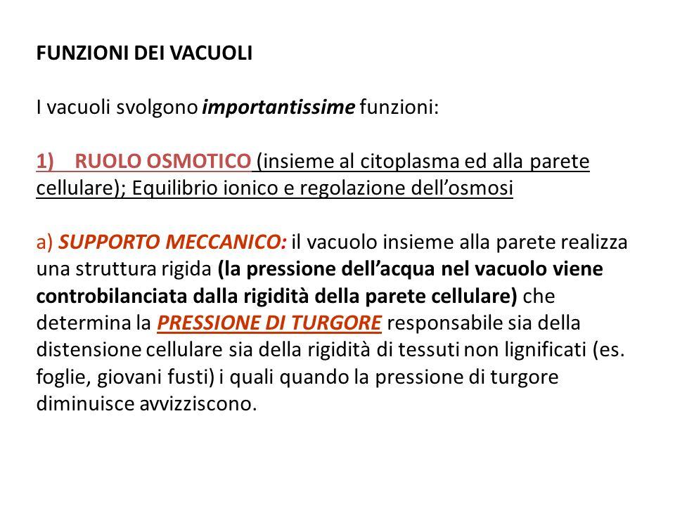 FUNZIONI DEI VACUOLI I vacuoli svolgono importantissime funzioni: 1) RUOLO OSMOTICO (insieme al citoplasma ed alla parete cellulare); Equilibrio ionic