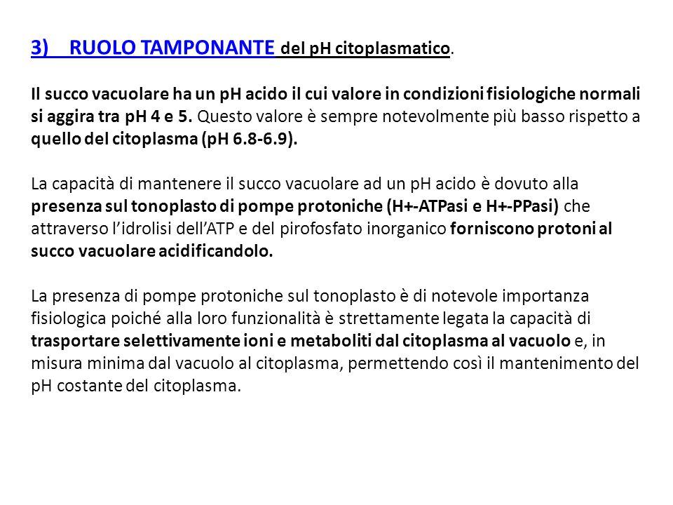 3) RUOLO TAMPONANTE del pH citoplasmatico. Il succo vacuolare ha un pH acido il cui valore in condizioni fisiologiche normali si aggira tra pH 4 e 5.