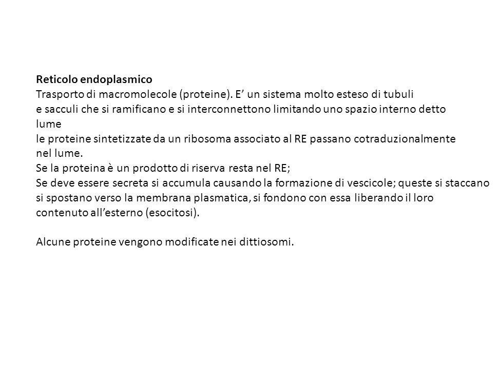 Reticolo endoplasmico Trasporto di macromolecole (proteine).