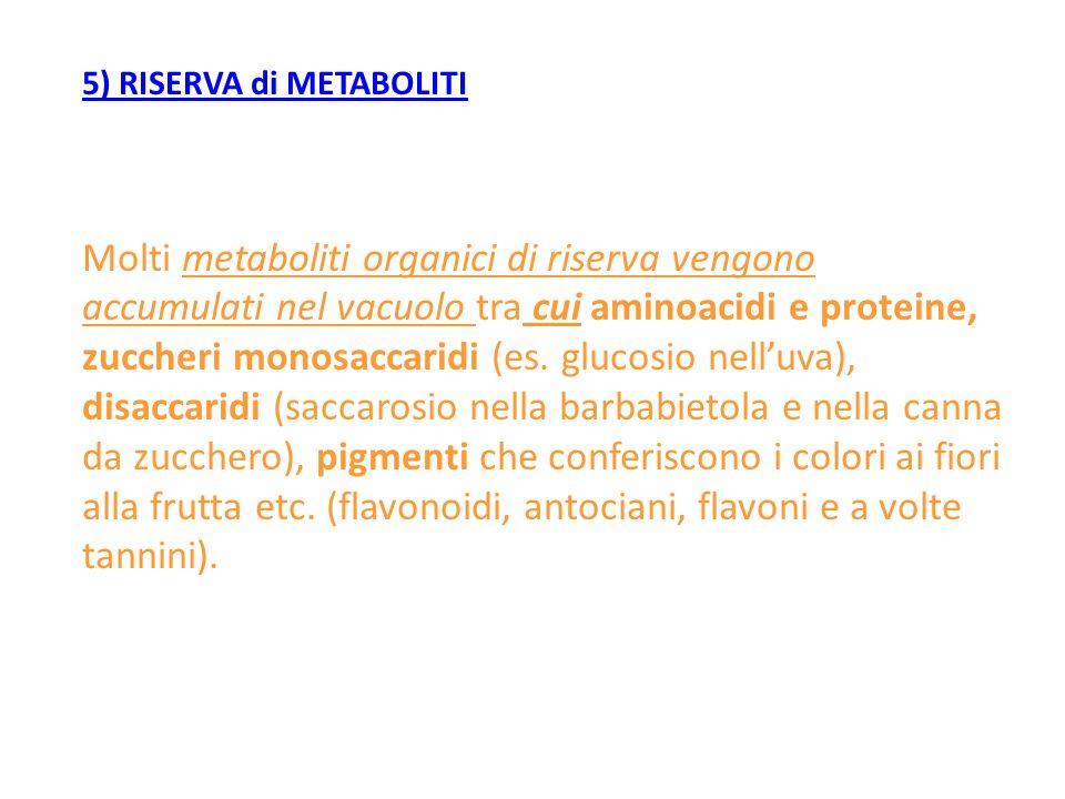 5) RISERVA di METABOLITI Molti metaboliti organici di riserva vengono accumulati nel vacuolo tra cui aminoacidi e proteine, zuccheri monosaccaridi (es