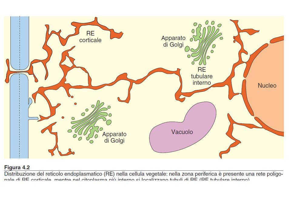 FUNZIONI DEI VACUOLI I vacuoli svolgono importantissime funzioni: 1) RUOLO OSMOTICO (insieme al citoplasma ed alla parete cellulare); Equilibrio ionico e regolazione dellosmosi a) SUPPORTO MECCANICO: il vacuolo insieme alla parete realizza una struttura rigida (la pressione dellacqua nel vacuolo viene controbilanciata dalla rigidità della parete cellulare) che determina la PRESSIONE DI TURGORE responsabile sia della distensione cellulare sia della rigidità di tessuti non lignificati (es.