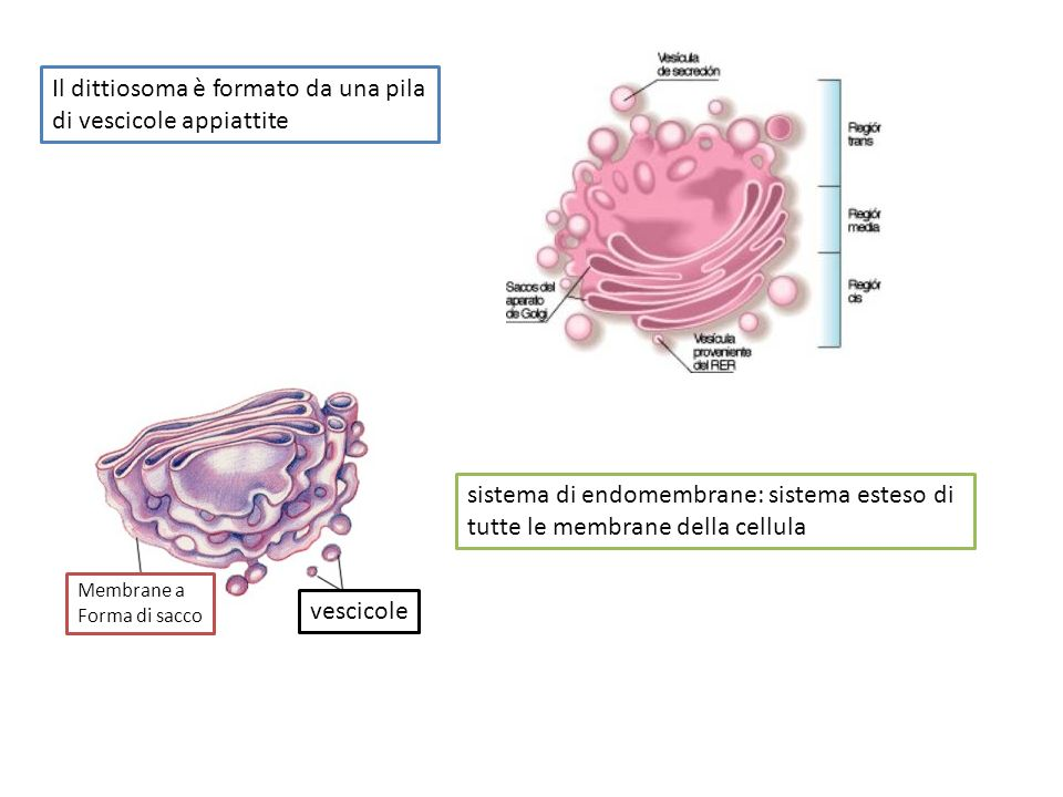vescicole Membrane a Forma di sacco Il dittiosoma è formato da una pila di vescicole appiattite sistema di endomembrane: sistema esteso di tutte le membrane della cellula