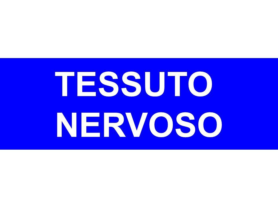 Fa parte del SISTEMA NERVOSO, formato da miliardi di neuroni assistiti dalle cellule gliali.