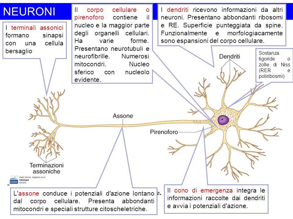 Cellule gliali Cellule non eccitabili, numericamente preponderanti rispetto ai neuroni