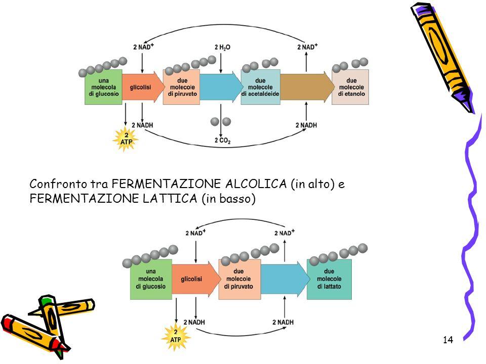 14 Confronto tra FERMENTAZIONE ALCOLICA (in alto) e FERMENTAZIONE LATTICA (in basso)