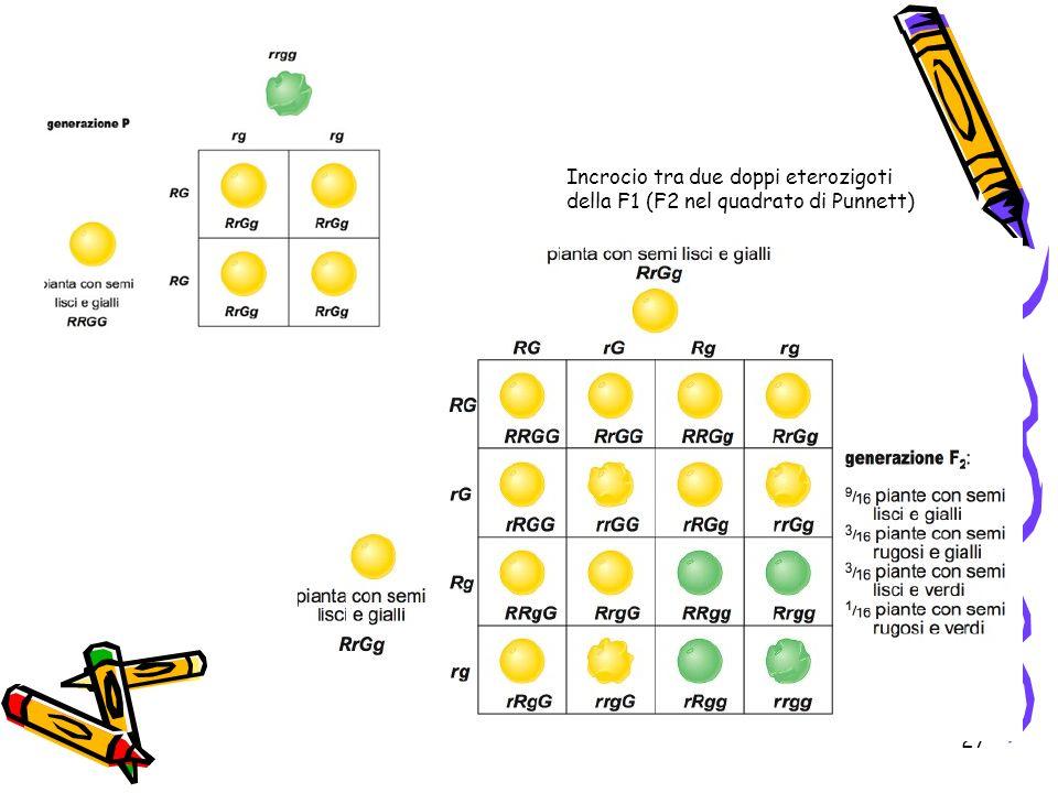 27 Incrocio tra due doppi eterozigoti della F1 (F2 nel quadrato di Punnett)