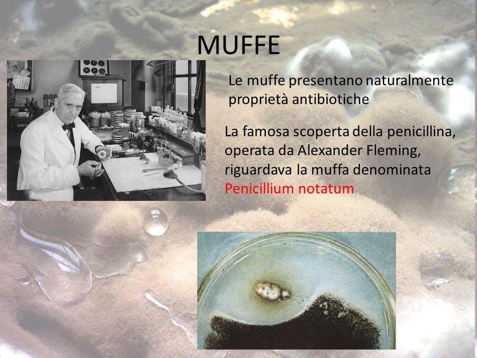 MUFFE La famosa scoperta della penicillina, operata da Alexander Fleming, riguardava la muffa denominata Penicillium notatum Le muffe presentano naturalmente proprietà antibiotiche