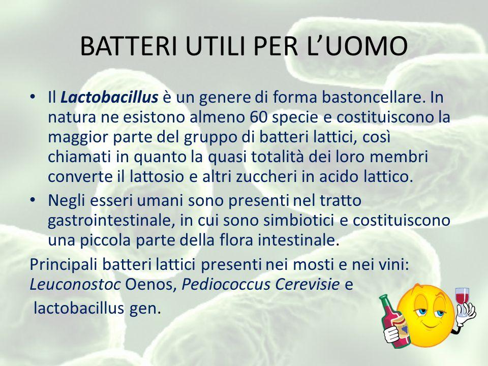 BATTERI UTILI PER LUOMO Il Lactobacillus è un genere di forma bastoncellare.