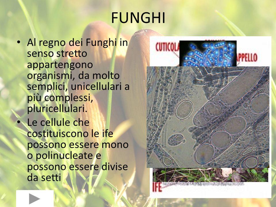 FUNGHI Al regno dei Funghi in senso stretto appartengono organismi, da molto semplici, unicellulari a più complessi, pluricellulari.