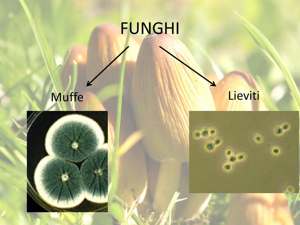 MUFFE Le muffe sono un tipo di funghi pluricellulari, capaci di ricoprire alcune superfici sotto forma di spugnosi miceli e solitamente si riproducono per mezzo di spore.
