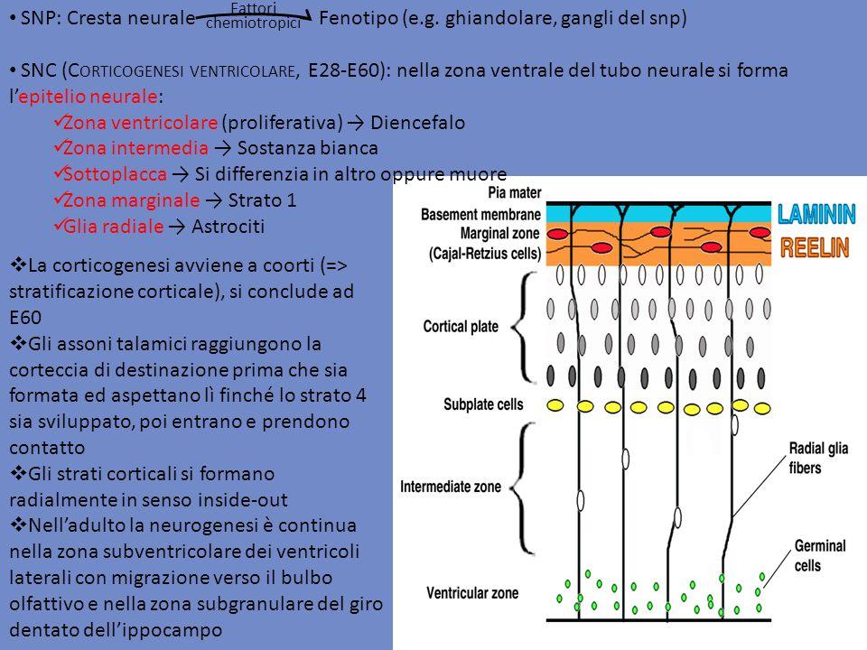 SNP: Cresta neurale Fenotipo (e.g. ghiandolare, gangli del snp) SNC (C ORTICOGENESI VENTRICOLARE, E28-E60): nella zona ventrale del tubo neurale si fo
