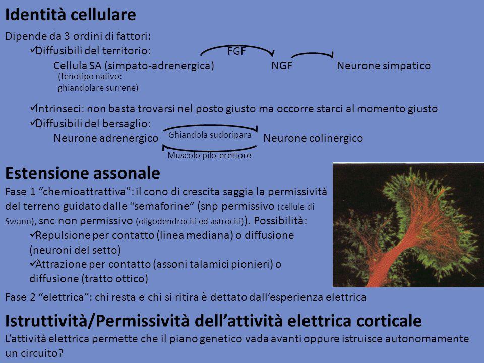Identità cellulare Istruttività/Permissività dellattività elettrica corticale Lattività elettrica permette che il piano genetico vada avanti oppure is
