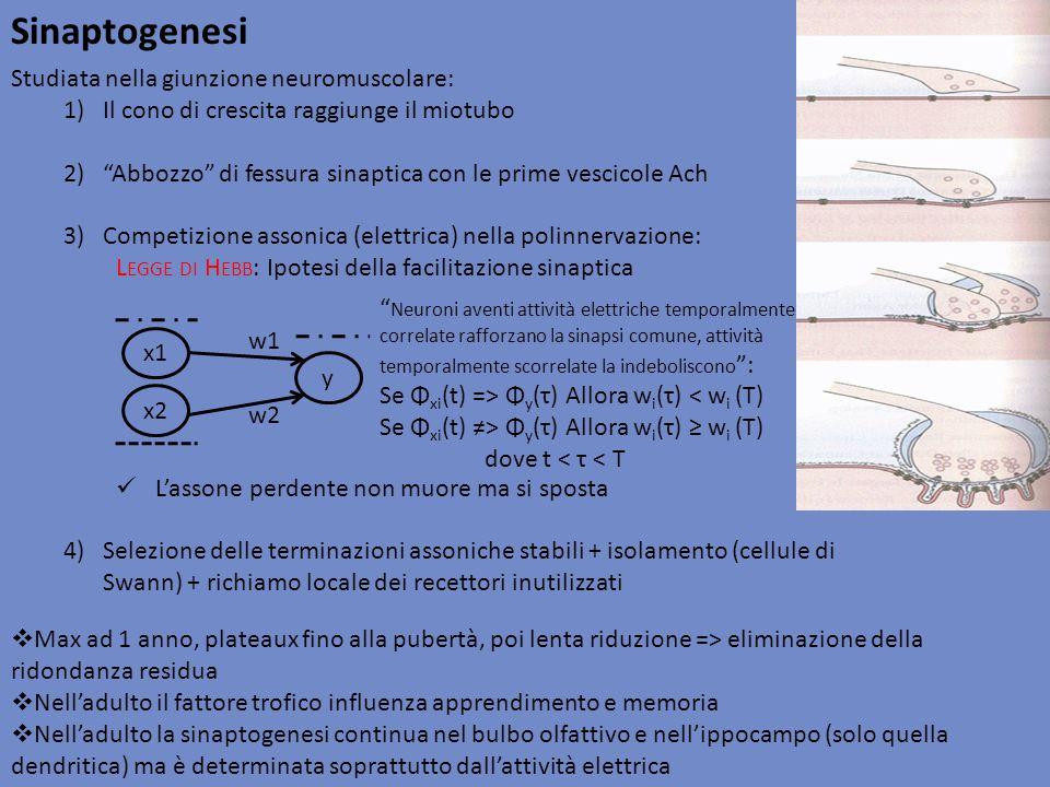 Sinaptogenesi Studiata nella giunzione neuromuscolare: 1)Il cono di crescita raggiunge il miotubo 2)Abbozzo di fessura sinaptica con le prime vescicol