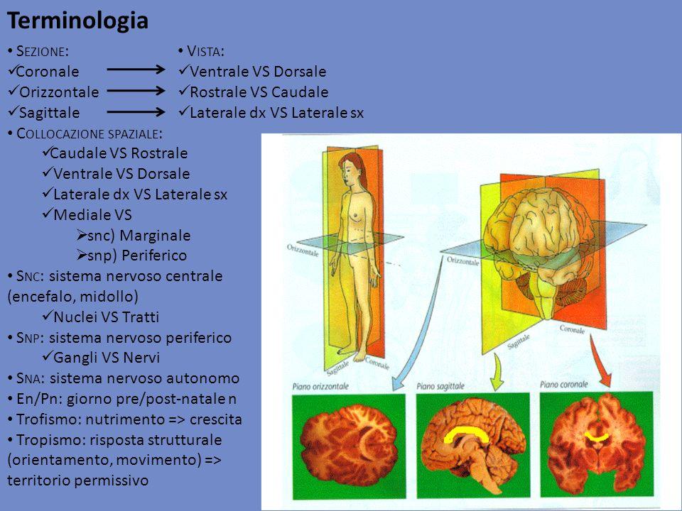 Terminologia S EZIONE : Coronale Orizzontale Sagittale C OLLOCAZIONE SPAZIALE : Caudale VS Rostrale Ventrale VS Dorsale Laterale dx VS Laterale sx Med