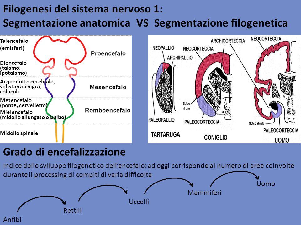 Filogenesi del sistema nervoso 2: gerarchia evolutiva A NFIBI (rane): Telencefalo: progettato sostanzialmente come un grande bulbo olfattivo R ETTILI : Mesencefalo Tetto ottico Nucleo talamico U CCELLI : Nuclei della base: corpo striato (controllo motorio, apprendimento implicito) Sviluppo del cervelletto