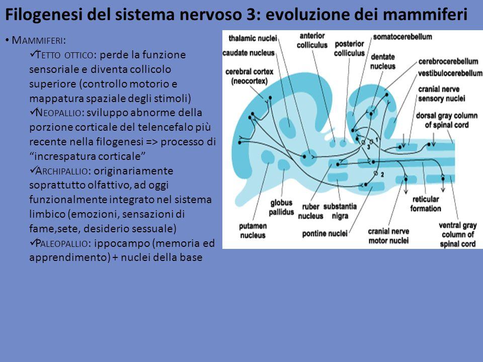 Filogenesi del sistema nervoso 3: evoluzione dei mammiferi M AMMIFERI : T ETTO OTTICO : perde la funzione sensoriale e diventa collicolo superiore (co