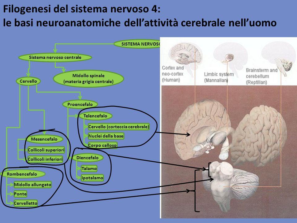 Filogenesi del sistema nervoso 4: le basi neuroanatomiche dellattività cerebrale nelluomo SISTEMA NERVOSO Sistema nervoso centraleSistema nervoso peri