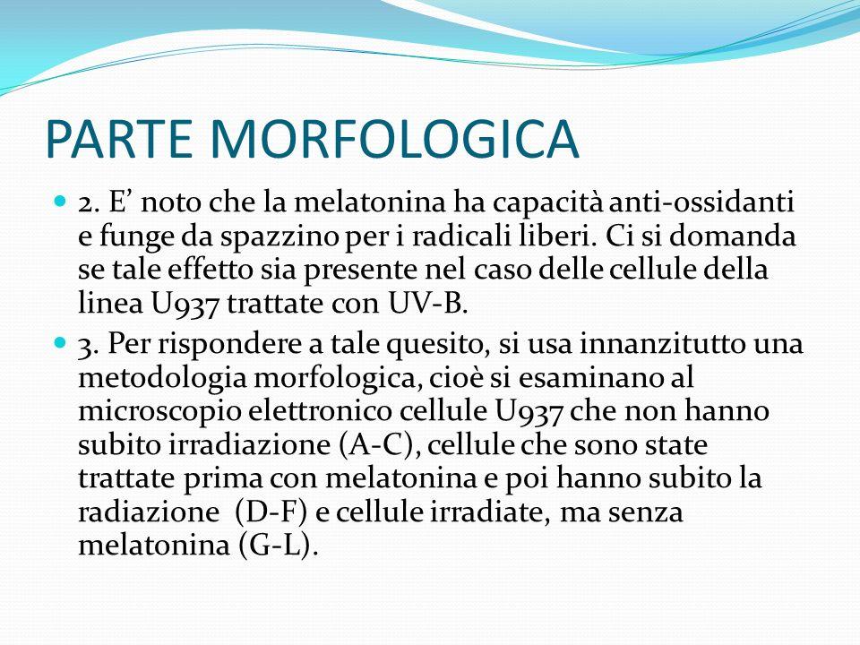 PARTE MORFOLOGICA 2.