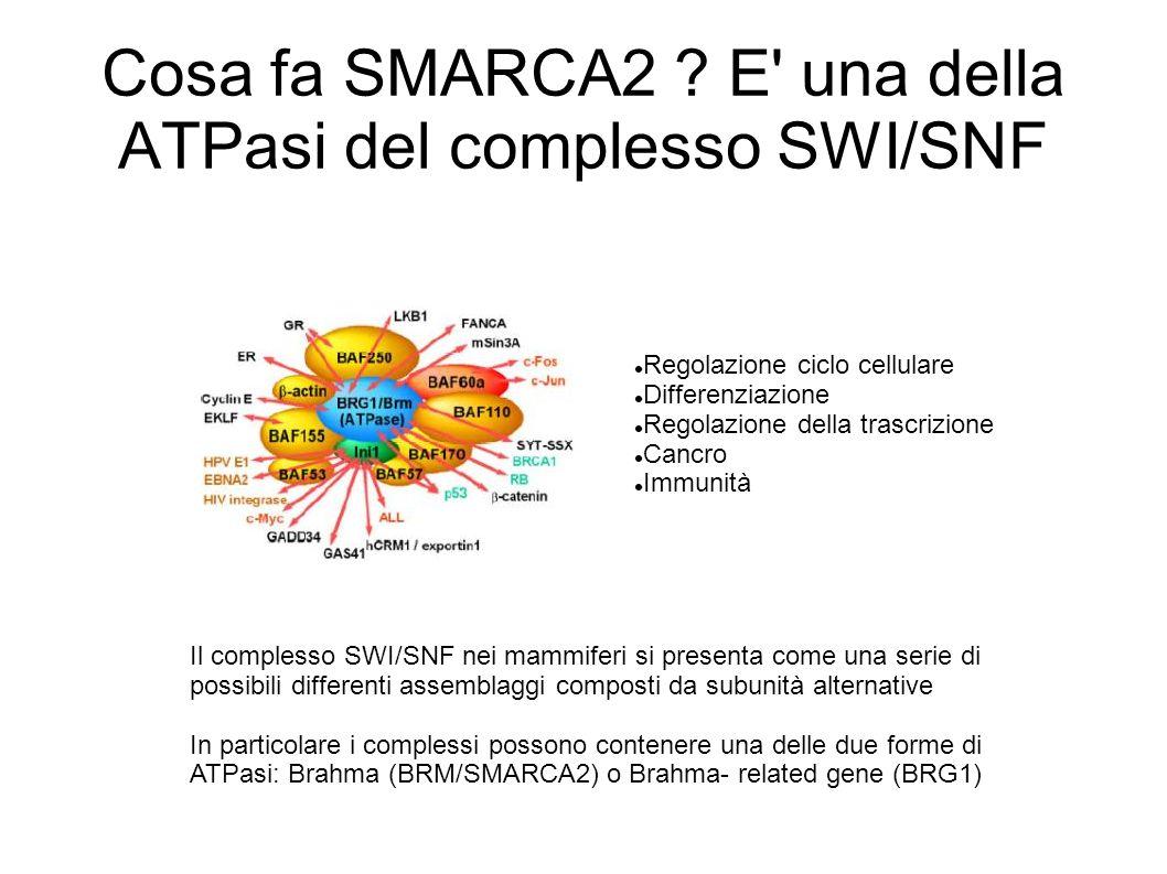 Cosa fa SMARCA2 ? E' una della ATPasi del complesso SWI/SNF Regolazione ciclo cellulare Differenziazione Regolazione della trascrizione Cancro Immunit