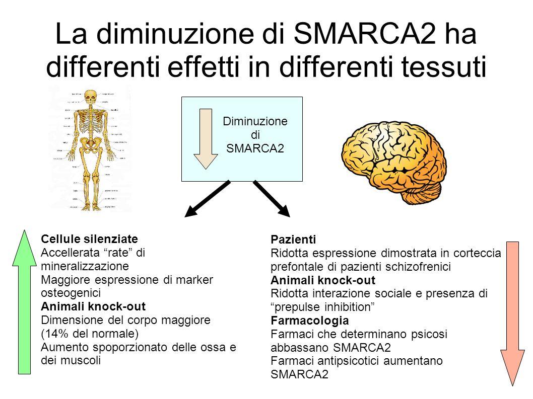 La diminuzione di SMARCA2 ha differenti effetti in differenti tessuti Diminuzione di SMARCA2 Cellule silenziate Accellerata rate di mineralizzazione M