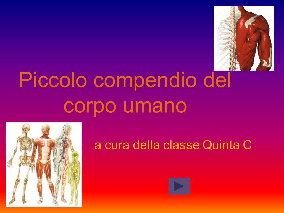 Piccolo compendio del corpo umano a cura della classe Quinta C