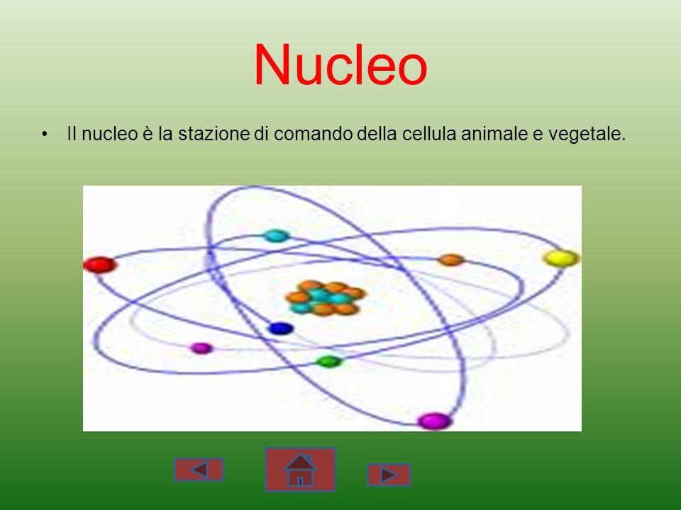 Nucleo Il nucleo è la stazione di comando della cellula animale e vegetale.