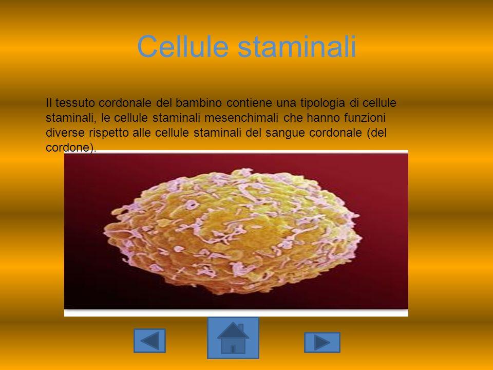 Cellule staminali Il tessuto cordonale del bambino contiene una tipologia di cellule staminali, le cellule staminali mesenchimali che hanno funzioni d