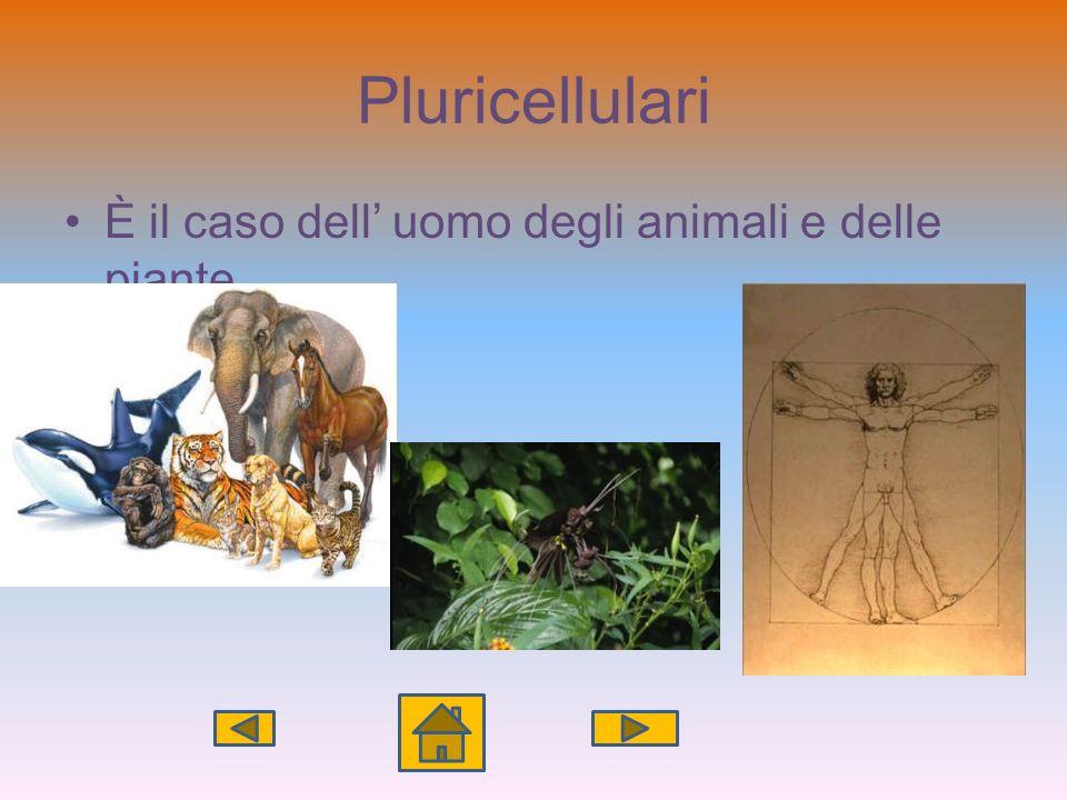 Pluricellulari È il caso dell uomo degli animali e delle piante
