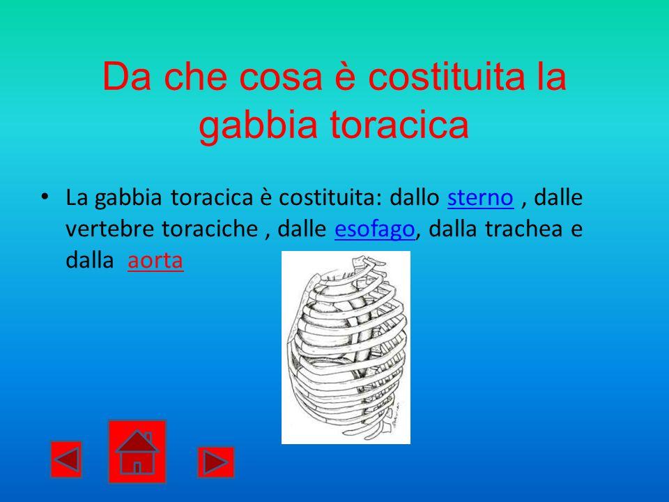 La gabbia toracica è costituita: dallo sterno, dalle vertebre toraciche, dalle esofago, dalla trachea e dalla aortasternoesofago Da che cosa è costitu