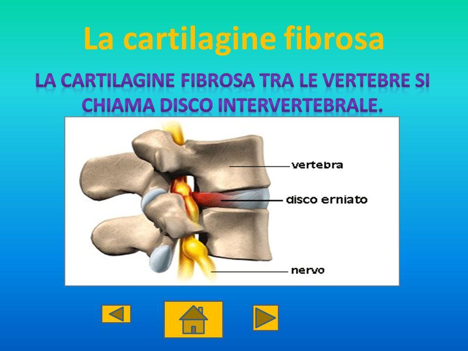 La cartilagine fibrosa
