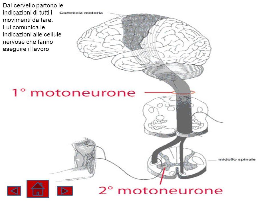 Dal cervello partono le indicazioni di tutti i movimenti da fare. Lui comunica le indicazioni alle cellule nervose che fanno eseguire il lavoro