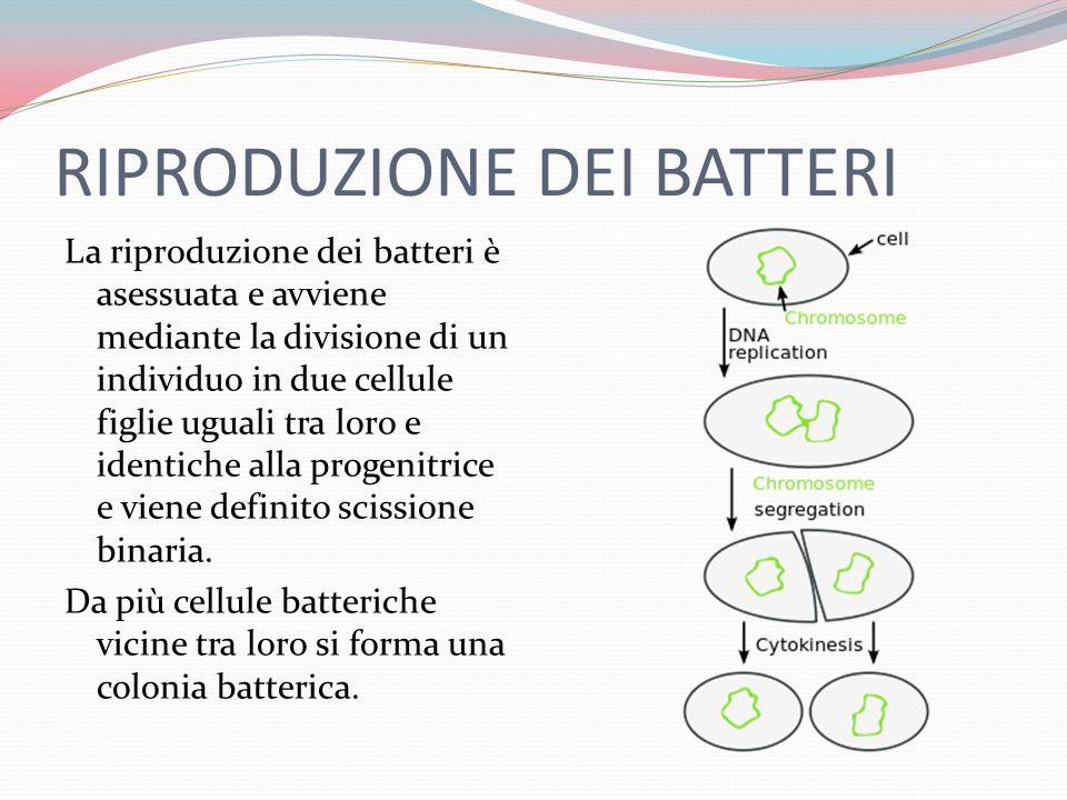 RIPRODUZIONE DEI BATTERI La riproduzione dei batteri è asessuata e avviene mediante la divisione di un individuo in due cellule figlie uguali tra loro e identiche alla progenitrice e viene definito scissione binaria.