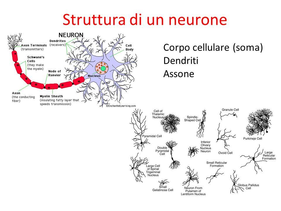 Struttura di un neurone Corpo cellulare (soma) Dendriti Assone