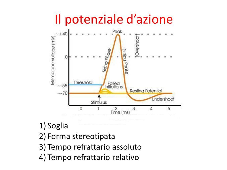 Il potenziale dazione 1)Soglia 2)Forma stereotipata 3)Tempo refrattario assoluto 4)Tempo refrattario relativo