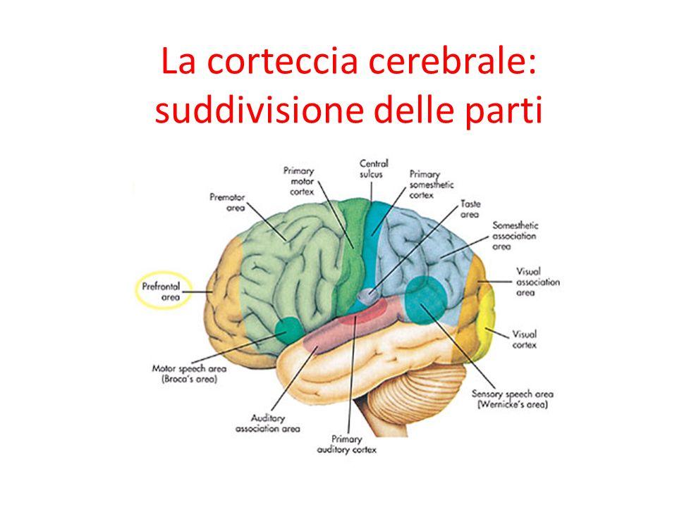 La corteccia cerebrale: suddivisione delle parti