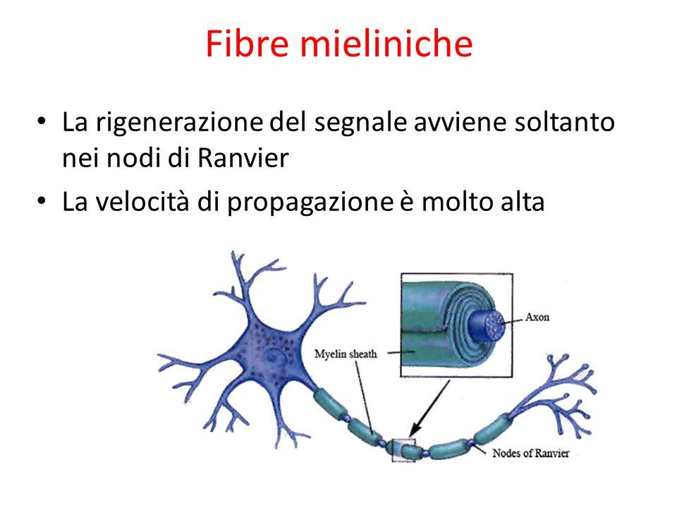 Fibre mieliniche La rigenerazione del segnale avviene soltanto nei nodi di Ranvier La velocità di propagazione è molto alta