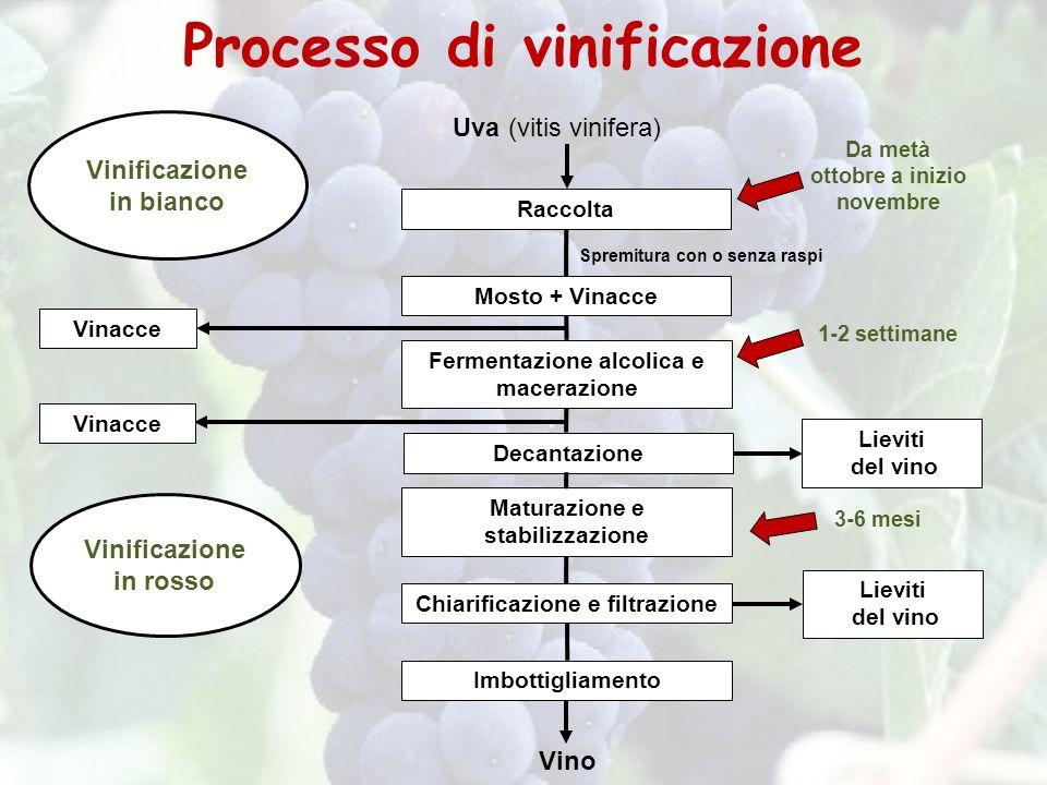 Uva (vitis vinifera) Maturazione e stabilizzazione Raccolta Fermentazione alcolica e macerazione Decantazione Imbottigliamento Chiarificazione e filtr