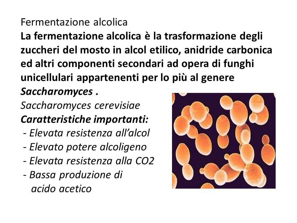 Fermentazione alcolica La fermentazione alcolica è la trasformazione degli zuccheri del mosto in alcol etilico, anidride carbonica ed altri componenti secondari ad opera di funghi unicellulari appartenenti per lo più al genere Saccharomyces.