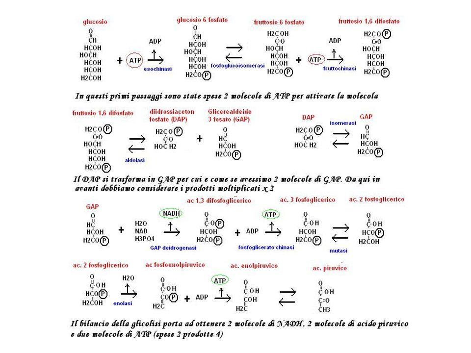 Decarbossilazione dellacido piruvico Mg 2+ Piruvato decarbossilasi Acido piruvico Acetaldeide